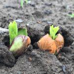 5月2日【豆豆体験】耕作放棄に落花生蒔いて、秋に収穫しよう♪