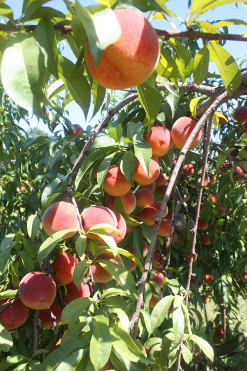 lots of peaches