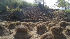 Yam heaps at Ushongo