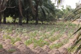 Yam cultivation