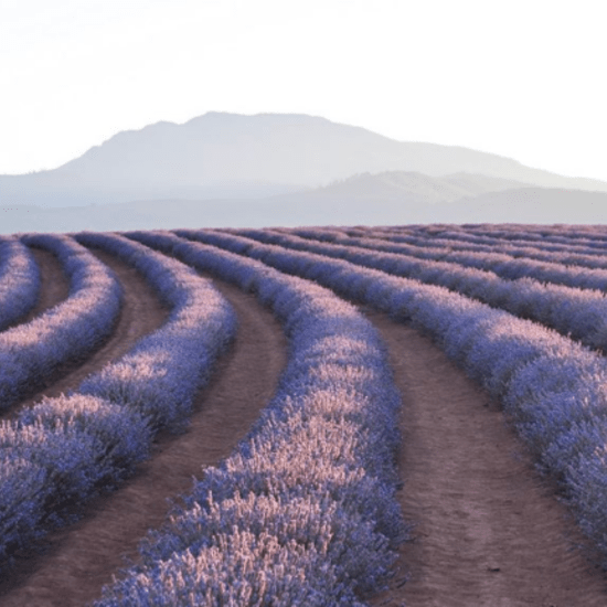 Bridestow Lavender Farm and social media for agribusiness