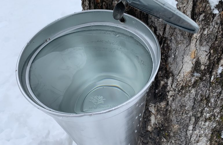Close up photo of clear, watery Sugar Maple sap in a bucket with a maple tap