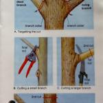 Pruning chart for woody plants