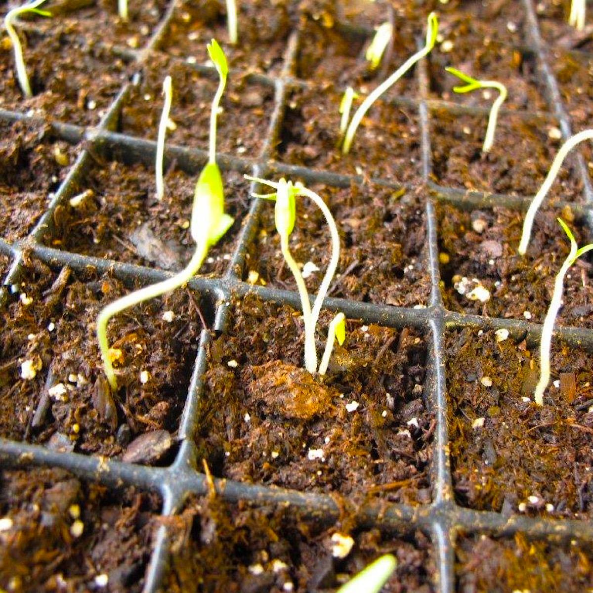 Newly germinated tomato seeds