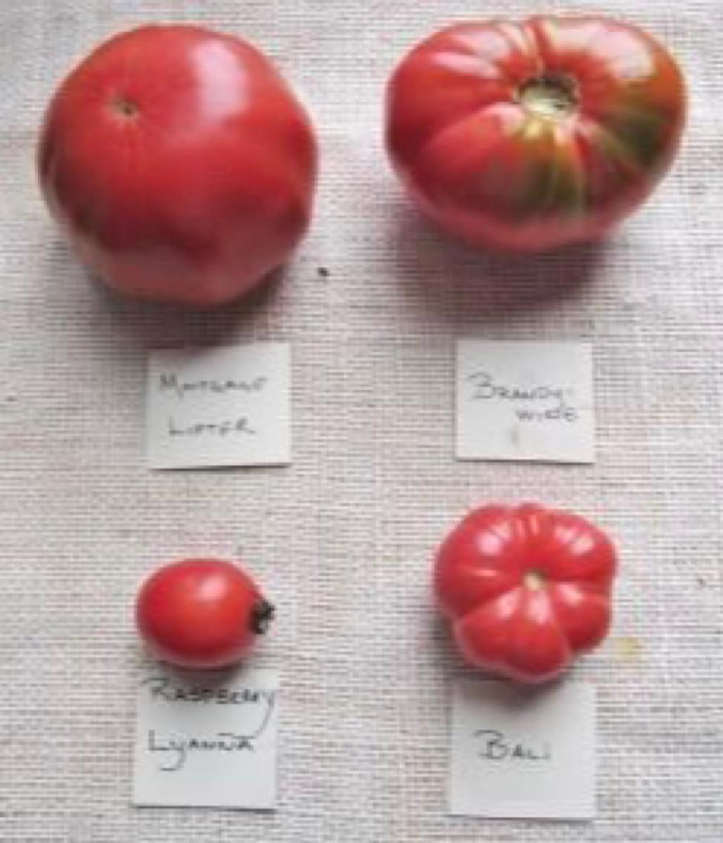 Four pink varieties of heirloom tomatoes