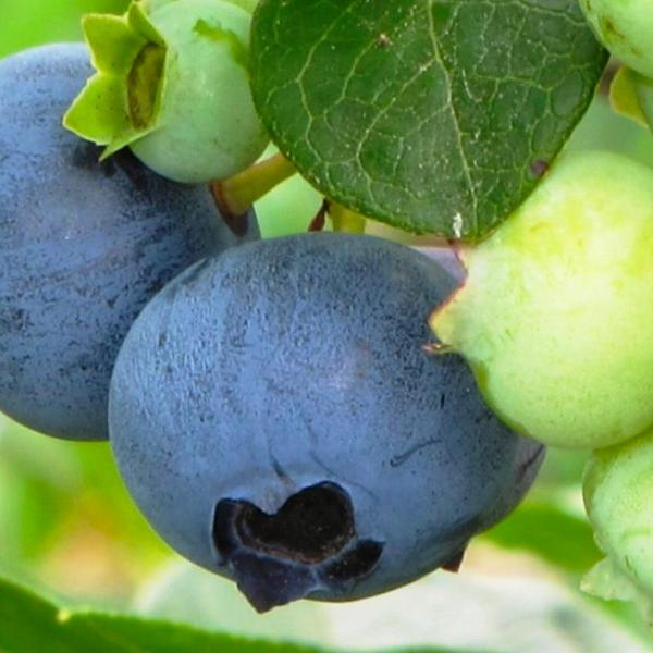 Ripening blueberries in Zone 4 in mid-July