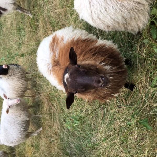 White Dog Farm-Lamb, Pork, Raw Dairy