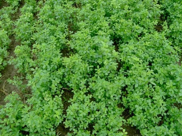 Gmo Contaminated Alfalfa Washington Rejected