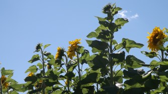 Mammoth and Grey Stripe sunflowers. Massive blooms that the birds went wild over.