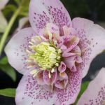 helleborus pale pink spotted  anemone centred