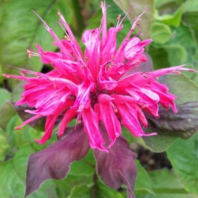 monarda-pink-supreme.JPG
