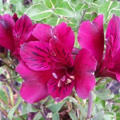 Alstroemeria intichana 'Dark Purple'