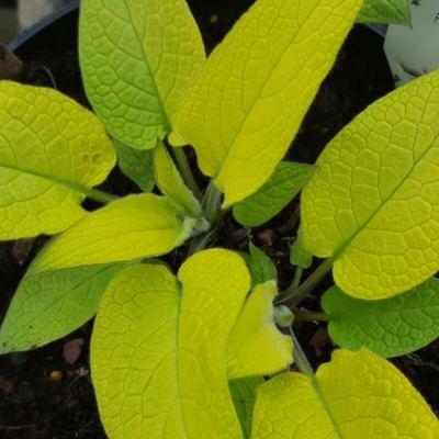 Symphytum ibericum 'Gold in Spring'