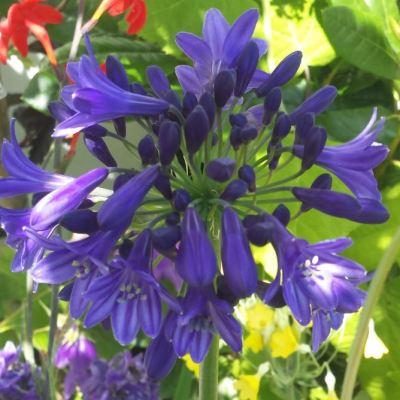 Agapanthus 'Picton Blue'