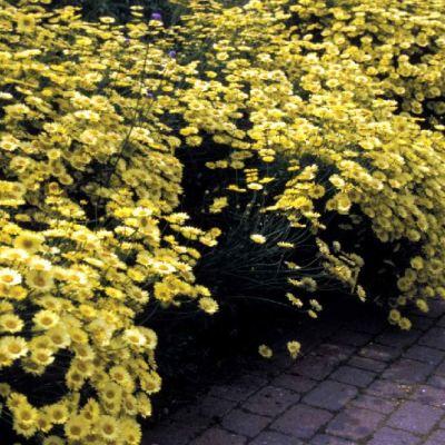 Anthemis tinctoria 'Waqrgraves Variety'