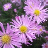 Aster pringlei 'October Glory'