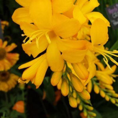 Crocosmia crocosmiiflora 'Pauls Best Yellow'