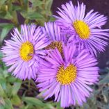 Erigeron 'Darkest of All'