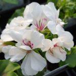 geranium ivy blanch roche