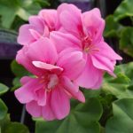geranium trailing precision light pink