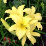 Hemerocallis 'Giant Moon'