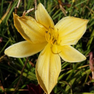Hemerocallis 'Pennys Worth'