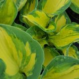 Hosta 'Alex Summers'