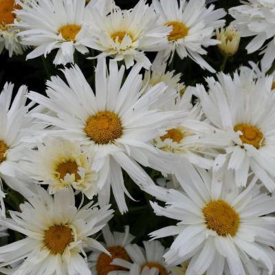 Leucanthemum superbum 'Crazy Daisy''