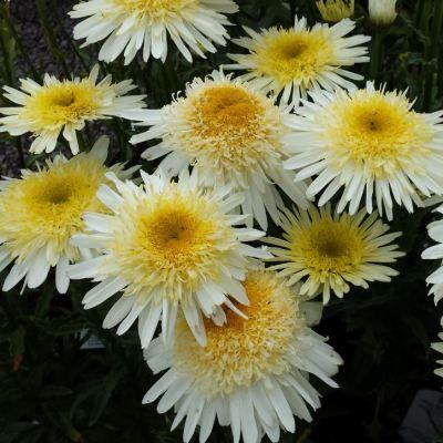 Leucanthemum superbum 'Real Glory'