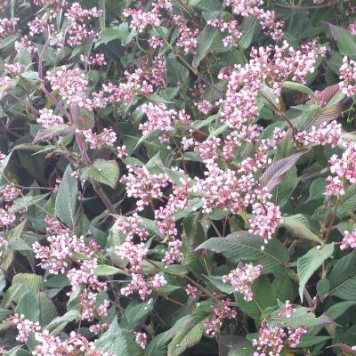 Persicaria campanulatum