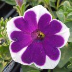 petunia cascadia rim violet