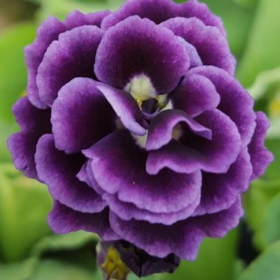 Primula auricula 'The Marie Crousse'