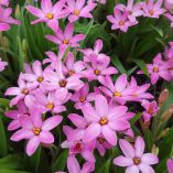 Rhodohypoxis 'Raspberry'