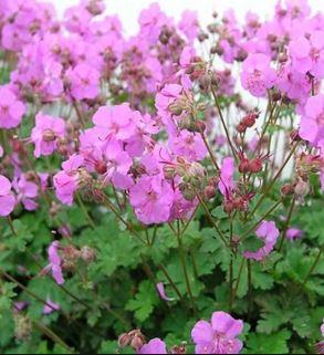 geranium-cantabrigiens-karmina