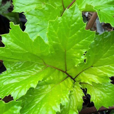 acanthus-hollards-gold