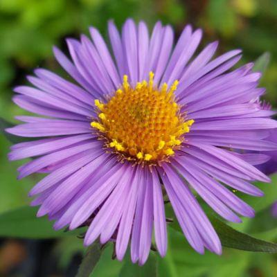 Aster novae-angliae 'Barrs Violet'