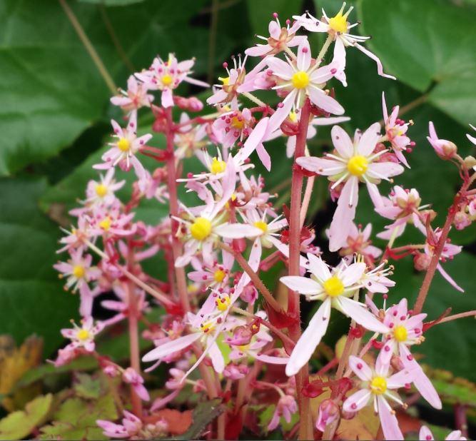Saxifraga Fortunei Varieties Superb For Autumn Colour
