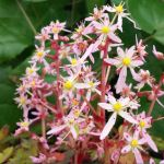 Saxifraga fortunei 'Pink Mist'