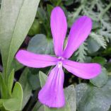 Viola cornuta 'Spider'