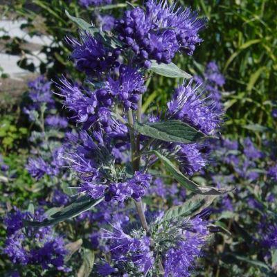 caryopteris-clandonensis-heavenly-blue