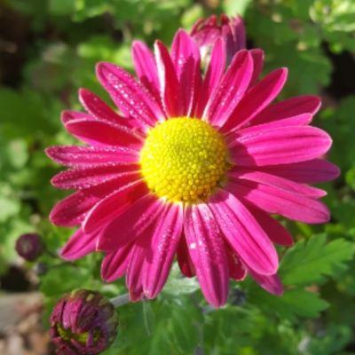 Chrysanthemum 'Anne Ratsey