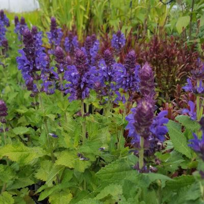 Salvia 'Blue Marvel'