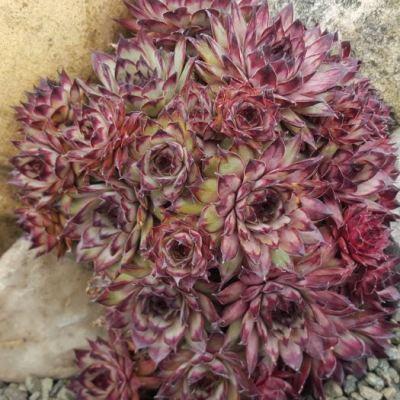 Sempervivum tectorum Atropurpureum