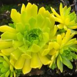 Sempervivum 'Cmirals Yellow'