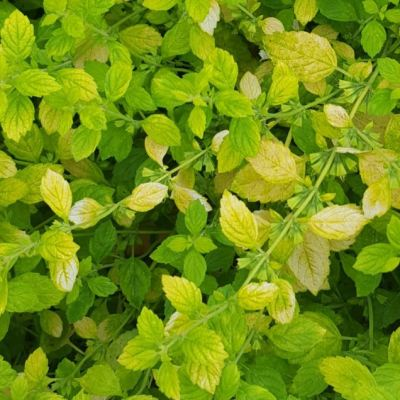Herb Lemon Balm - Variegated