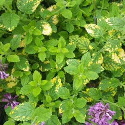 Lemon Balm 'Variegated'