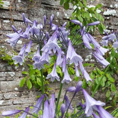 Agapanthus 'Liams Lilac'