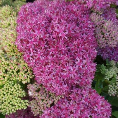 Sedum spectabile 'Carl'