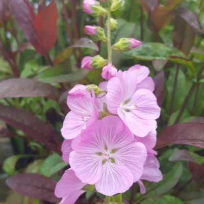 Sidalcea 'Lilac Candice'