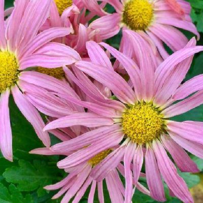 Chrysanthemum 'Alison'